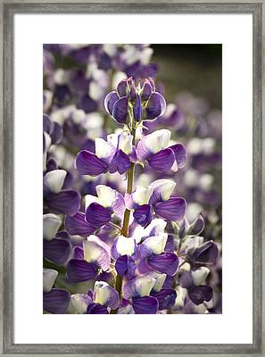 Framed Print featuring the photograph Lupine Wildflowers by Sonya Lang
