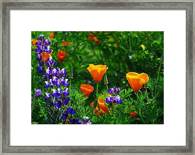 Lupines And Poppies Framed Print by Lynn Bauer