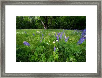 Lupines And Wild Flowers Framed Print by Andrea Galiffi