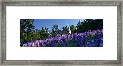 Lupines At St. Matthews In Sugar Hill Framed Print