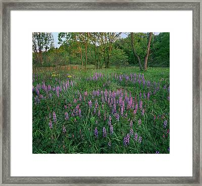 Lupines At West Beach, Indiana Dunes Framed Print