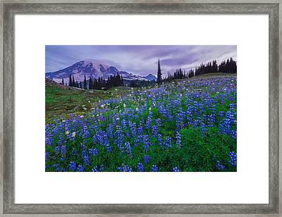 Lupines Dawn Framed Print