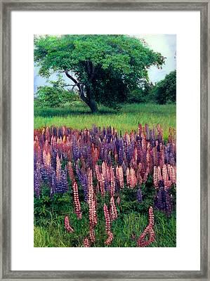 Lupines Midcoast Maine Framed Print by Cindy McIntyre