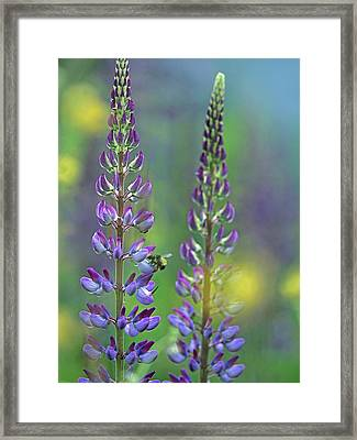 Lupines With A Bumblebee Drinking Framed Print