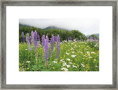 Lupins Nh Framed Print