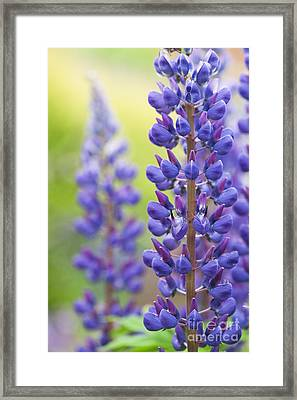 Lupins Framed Print by Tim Gainey