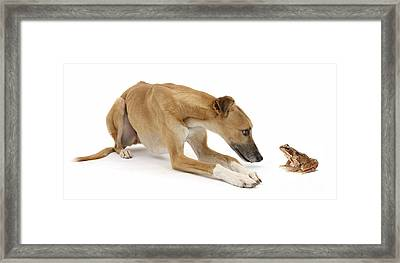 Lurcher Dog And Common Frog Framed Print