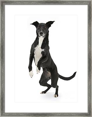 Lurcher Standing On Hind Legs Framed Print