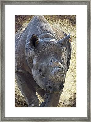 Lurching Rhino Framed Print by Bill Tiepelman