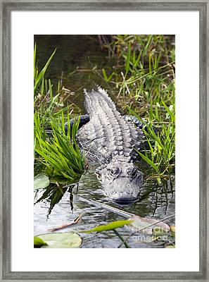 Lurking Alligator Framed Print