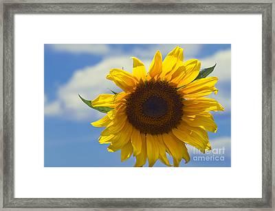 Lus Na Greine - Sunflower On Blue Sky Framed Print