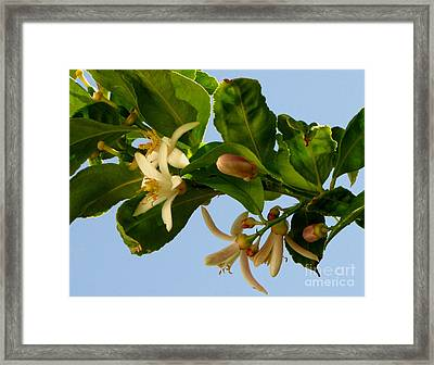 Luscious Lemon Promise Framed Print