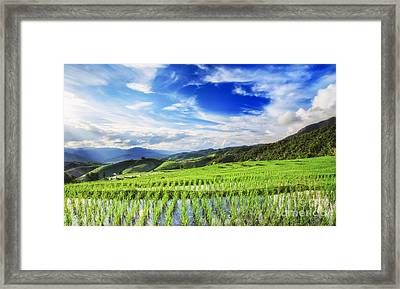Lush Green Rice Field  Framed Print
