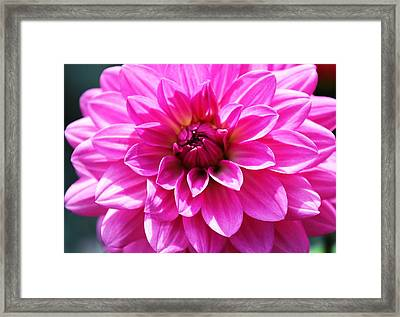 Framed Print featuring the photograph Lush Pink Dahlia by Judy Palkimas