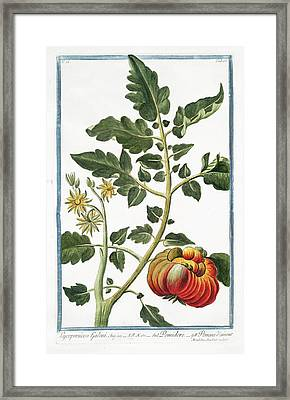 Lycopersicon Galeni Framed Print by Rare Book Division/new York Public Library