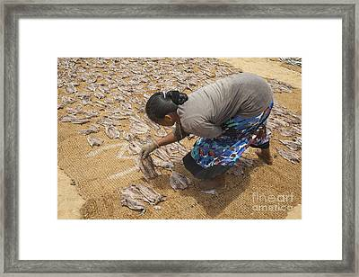 Lying Down Fish To Dry In Sri Lanka Framed Print by Patricia Hofmeester