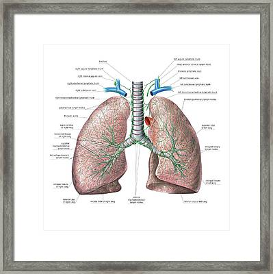Lymphoid System Of The Lungs Framed Print by Asklepios Medical Atlas