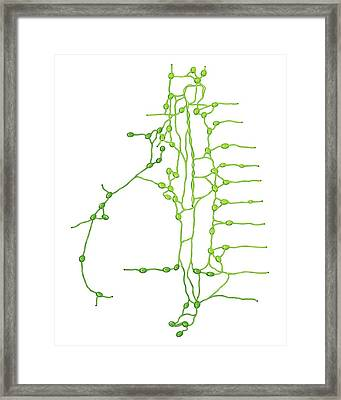 Lymphoid System Of The Thorax Framed Print by Asklepios Medical Atlas