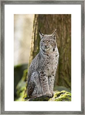 Lynx Framed Print by Andy-Kim Moeller