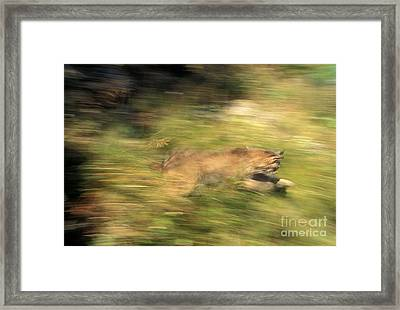 Lynx Felis Lynx Framed Print by Ron Sanford