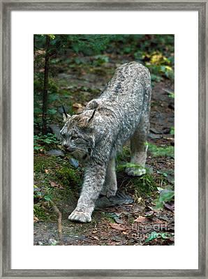 Lynx Framed Print by Mark Newman