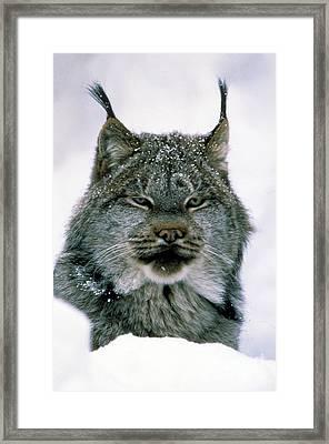 Lynx Framed Print by Novastock