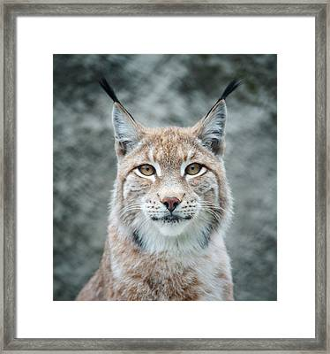 Lynx Portrait Framed Print by Photographs By Maria Itina