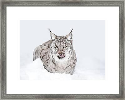 Lynx Wild Cat Framed Print by Andy Astbury