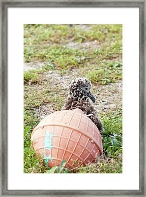 Lysan Albatross (phoebastria Immutabilis Framed Print by Daisy Gilardini