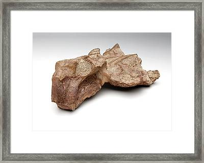 Lystrosaurus Fossil Framed Print by Ucl, Grant Museum Of Zoology