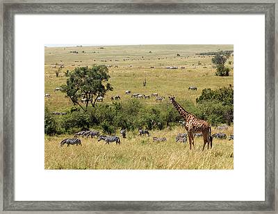 Maasai Giraffe And Burchell's Zebras Framed Print by Adam Jones