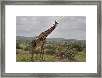 Maasai Giraffe Framed Print by Jim Heath