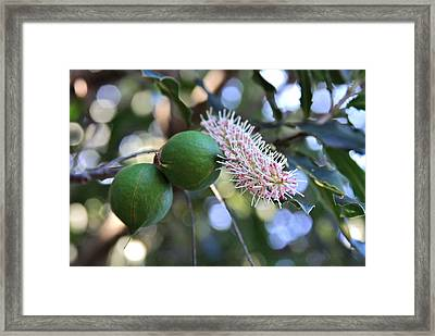 Macadamia Nuts And Flower Framed Print by Karon Melillo DeVega