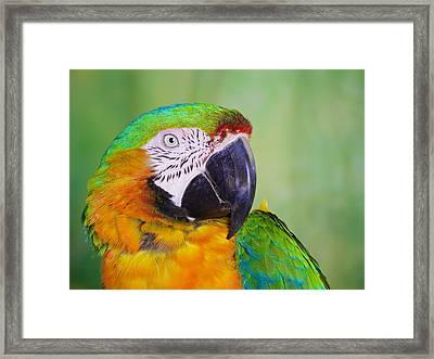 Framed Print featuring the photograph Macaw - Ara by Nature and Wildlife Photography
