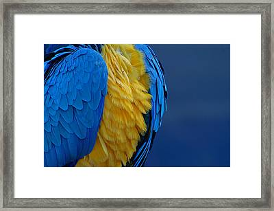 Macaw Blue Yellow Blue Framed Print by Colleen Renshaw