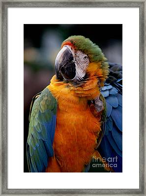 Macaw Framed Print by Ivete Basso Photography