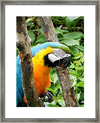 Macaw Framed Print by Michael Caron