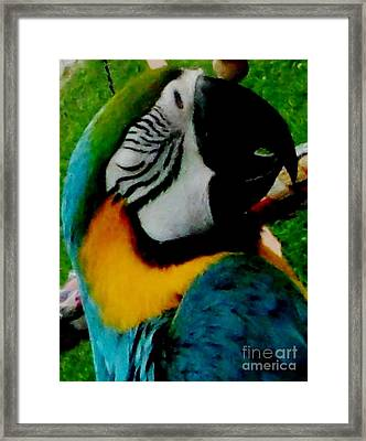 Macaw Parrot Taking A Nap Framed Print by Gail Matthews