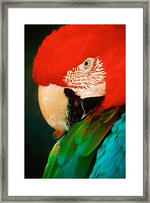 Macaw Portrait Framed Print by Anonymous