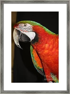 Macaw Profile Framed Print by John Telfer