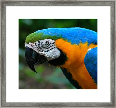 Macaw With Sweet Expression Framed Print by Karon Melillo DeVega