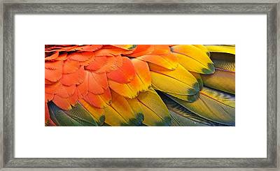Macaw Yellow Framed Print by Colleen Renshaw