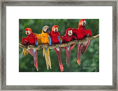 Macaws Framed Print by Frans Lanting MINT Images
