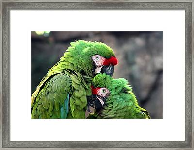 Macaws In Love Framed Print