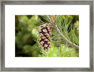 Macedonian Pine (pinus Peuce) Cone Framed Print by Bob Gibbons