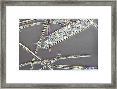 Macerated Oak Wood Framed Print