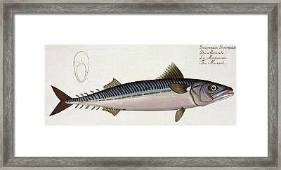 Mackerel Framed Print by Andreas Ludwig Kruger