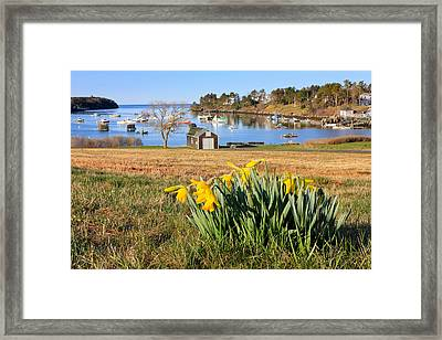 Mackerel Cove Daffodils Framed Print by Benjamin Williamson
