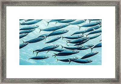 Mackerel Scad  Decapterus Macarellus Framed Print by Thomas Kline