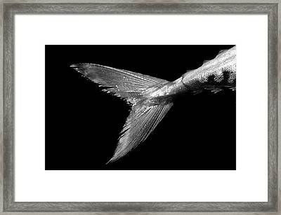 Mackerel Tail Framed Print by Paul Whitehill/science Photo Library